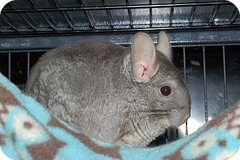 Chinchilla for adoption in Hammond, Indiana - Bear & Moose