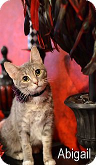 Domestic Shorthair Cat for adoption in Mansfield, Texas - Abigail