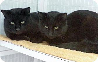 Domestic Shorthair Cat for adoption in Medfield, Massachusetts - Piper & Pebbles