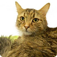 Adopt A Pet :: Ilithya - The Colony, TX