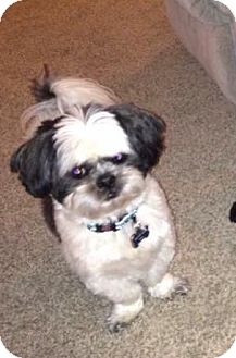Shih Tzu Mix Dog for adoption in Calgary, Alberta - COORS