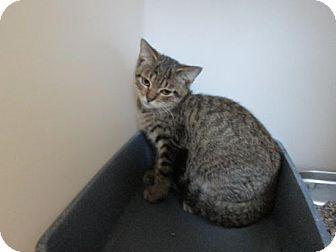Domestic Shorthair Cat for adoption in Dahlgren, Virginia - KGAC - 'Nigel'