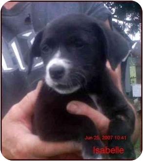 Labrador Retriever/Basset Hound Mix Puppy for adoption in Chiefland, Florida - Isabelle
