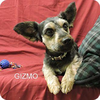 Schnauzer (Miniature)/Yorkie, Yorkshire Terrier Mix Dog for adoption in Slidell, Louisiana - Gizmo