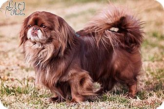 Pekingese Dog for adoption in Jennings, Oklahoma - Chewie