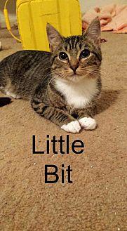 Domestic Shorthair Cat for adoption in Wichita Falls, Texas - Little Bit