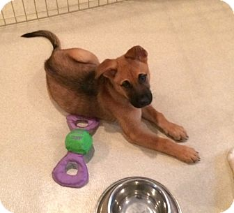 Shepherd (Unknown Type) Mix Puppy for adoption in Rockaway, New Jersey - Soldier