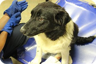 Border Collie Puppy for adoption in Brattleboro, Vermont - Lally