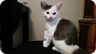 Domestic Shorthair Kitten for adoption in Fountain Hills, Arizona - ROO