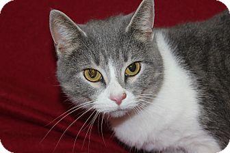Domestic Shorthair Cat for adoption in Danville, Illinois - ARIELLA