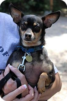 Miniature Pinscher/Chihuahua Mix Dog for adoption in Westminster, Colorado - Armani