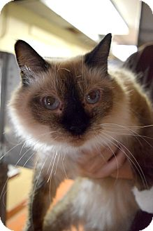 Balinese Cat for adoption in Bay Shore, New York - Stardust