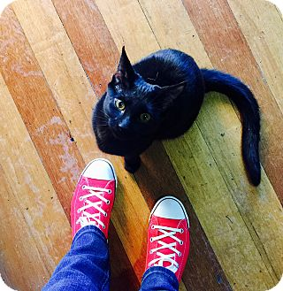 Domestic Shorthair Cat for adoption in Chicago, Illinois - Gloria Monty
