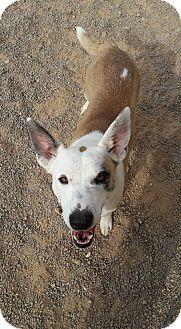 Cattle Dog Mix Dog for adoption in Buckeye, Arizona - Royale