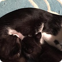 Adopt A Pet :: Tuxie - Fort Worth, TX