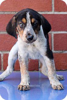 Pointer Mix Puppy for adoption in Waldorf, Maryland - Deer