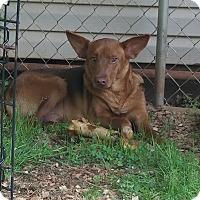 Adopt A Pet :: Shilo - PORTLAND, ME