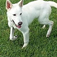 Adopt A Pet :: Leo - Rockville, MD