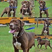 Adopt A Pet :: Hulk - Demopolis, AL