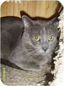 Russian Blue Cat for adoption in Elliot Lake, Ontario - Blue