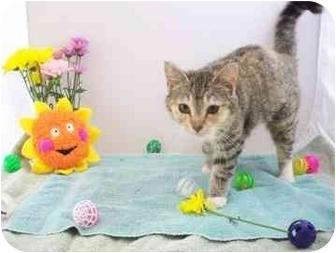 Domestic Shorthair Kitten for adoption in North Charleston, South Carolina - Amee