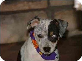 Feist Mix Puppy for adoption in Bedminster, New Jersey - Ollie