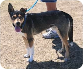 Shepherd (Unknown Type)/Husky Mix Dog for adoption in Gardnerville, Nevada - PACO