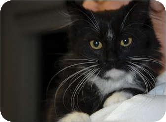 Domestic Longhair Kitten for adoption in Lunenburg, Massachusetts - Cookie Dough