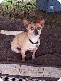 Chihuahua Dog for adoption in Puyallup, Washington - Mocha