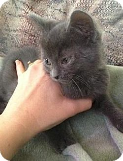 American Shorthair Kitten for adoption in Palatine, Illinois - Aaron