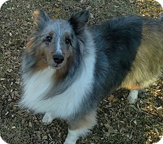 Sheltie, Shetland Sheepdog Dog for adoption in COLUMBUS, Ohio - Patrick