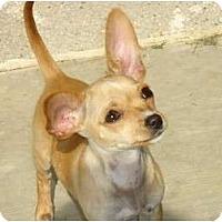 Adopt A Pet :: Dutchess - Arlington, TX