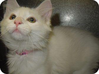 Domestic Mediumhair Kitten for adoption in Medina, Ohio - Jasmine