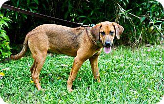 Redbone Coonhound Mix Dog for adoption in Houston, Texas - Miranda