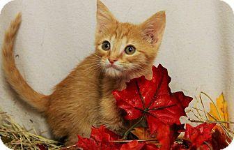 Domestic Shorthair Kitten for adoption in Gainesville, Florida - Kiara