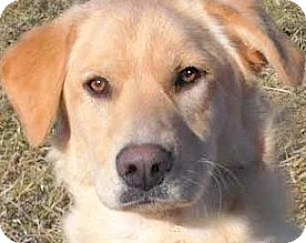 Labrador Retriever Dog for adoption in Winchester, Kentucky - GOLDIE(THROWN AWAY-PLS READ!
