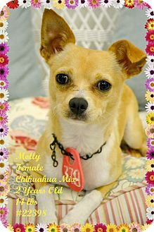 Chihuahua Mix Dog for adoption in Beaumont, Texas - Molly