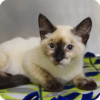 Domestic Shorthair Kitten for adoption in Dublin, California - Calamity Jane