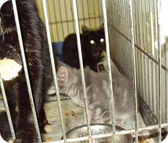 Domestic Mediumhair Cat for adoption in Mt. Vernon, Illinois - Mitsi
