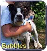 Boston Terrier/Bulldog Mix Dog for adoption in Aldie, Virginia - Bubbles