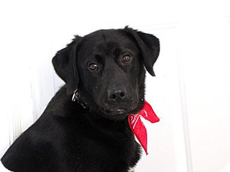 Labrador Retriever/German Shepherd Dog Mix Dog for adoption in Glenwood, Minnesota - Chance