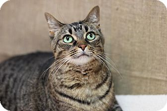 Domestic Shorthair Cat for adoption in Midland, Michigan - Cleo - NO FEE