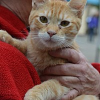 American Shorthair Kitten for adoption in Vacaville, California - Morris