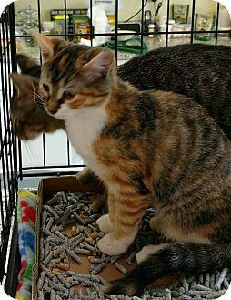 Calico Kitten for adoption in Randolph, New Jersey - Patricia & Patrick