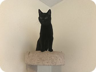 Domestic Shorthair Kitten for adoption in Jacksonville, North Carolina - Frost