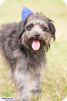 Poodle (Miniature)/Schnauzer (Standard) Mix Dog for adoption in Seattle, Washington - Dandy