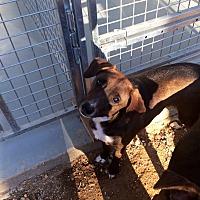 Dachshund/Shepherd (Unknown Type) Mix Dog for adoption in Waynesboro, Tennessee - Robin