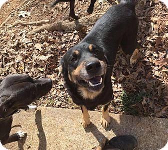 Shepherd (Unknown Type)/Labrador Retriever Mix Dog for adoption in North Brunswick, New Jersey - Besse
