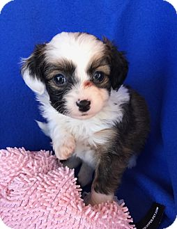 Papillon/Chihuahua Mix Puppy for adoption in Studio City, California - Rose