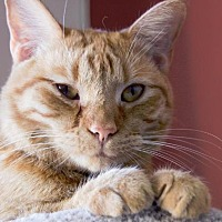 Domestic Shorthair Cat for adoption in Houston, Texas - KIMMIE
